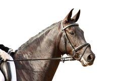 Schwarzer Sportpferdeportrait mit dem Zaum lokalisiert auf Weiß Lizenzfreie Stockbilder