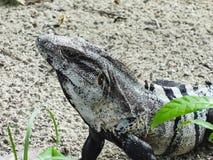 Schwarzer stacheliger angebundener Leguan, der im Sandbelize-Zentrale-ame stillsteht stockfoto