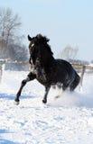 Schwarzer Stallion Stockbilder