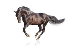 Schwarzer Stallion Stockfotografie