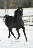 Schwarzer Stallion Lizenzfreies Stockfoto