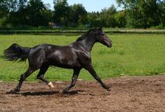 Schwarzer Stallion in Bewegung Lizenzfreie Stockfotografie
