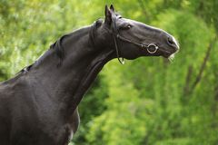 Schwarzer Stallion streckte seinen Stutzen Lizenzfreies Stockbild