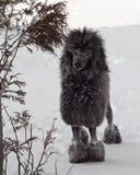 Schwarzer Standardpudel im Schnee Lizenzfreie Stockbilder