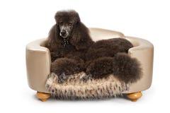 Schwarzer Standardpudelhund auf Luxuxbett Lizenzfreie Stockfotografie