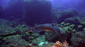 Schwarzer Stechrochen schwimmt über tiefem, felsigem Riff stock video