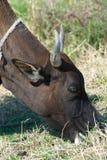 Schwarzer Stier, der Gras isst stockfotografie