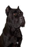 Schwarzer Stock Corso Hund Lizenzfreies Stockfoto