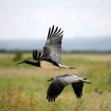 Schwarzer Storch in Amboseli Kenia Lizenzfreies Stockfoto