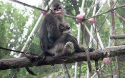 Schwarzer stupsnasiger Affe oder stupsnasiger Affe Yunnans Stockbild