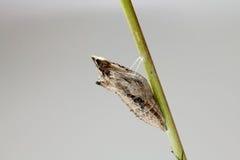Schwarzer Swallowtail Kokon Lizenzfreies Stockfoto