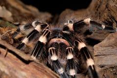 Schwarzer Tarantula Stockfotos