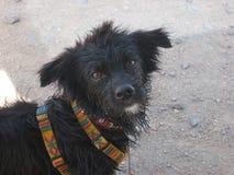 Schwarzer Terrier mit hellem Geschirr Lizenzfreies Stockbild