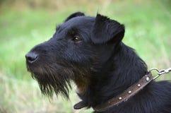 Schwarzer Terrier steht auf der Wiese Stockfotos