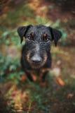 Schwarzer Terrierhund, Porträtabschluß Stockbild
