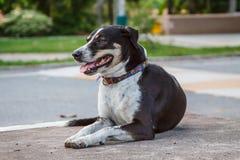 Schwarzer thailändischer Hund, Lächelnhund Stockfotos