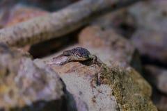 Schwarzer Throated Monitor - Tier, lebender Organismus, Reptilien lizenzfreie stockfotos