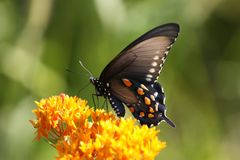 Schwarzer Tiger Swallowtail Lizenzfreies Stockfoto