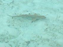 Schwarzer Tipp-Haifisch bei Gili Lankanfushi Resort lizenzfreie stockfotos
