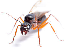 Schwarzer Tischler Ant (Camponotus pennsylvanicus) Lizenzfreies Stockbild