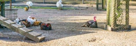 Schwarzer Truthahn mit einer Gruppe Hühnern an der Farm der Tiere Stockfoto