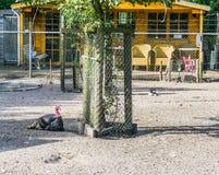 Schwarzer Truthahn nahe bei einer Farm der Tiere des Baums Lizenzfreies Stockfoto