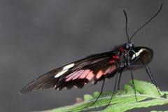 Schwarzer u. roter Schmetterling auf grünem Blatt Stockfotos