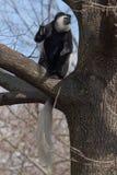 Schwarzer u. weißer Affe Stockbilder