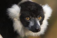 Schwarzer u. weißer getrumpfter Lemur Lizenzfreie Stockfotos