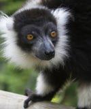 Schwarzer u. weißer getrumpfter Lemur. Stockfoto