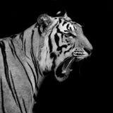 Schwarzer u. weißer Tiger Stockfotos