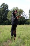 Schwarzer und brauner Dobermann in der Natur lizenzfreies stockfoto