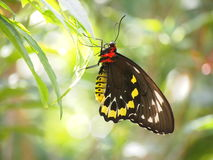 Schwarzer und gelber Schmetterling stockfotografie