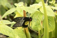 Schwarzer und gelber Schmetterling Stockbild