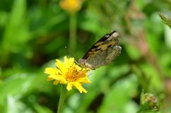 Schwarzer und gelber Schmetterling, der Nektar von einem schönen gelben Wildflower in Thailand saugt Lizenzfreies Stockfoto