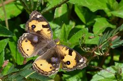 Schwarzer und gelber Schmetterling mit den weißen und blauen Stellen öffnet seine Flügel in Krabi, Thailand Lizenzfreies Stockfoto