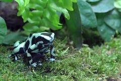 Schwarzer und grüner Frosch im Wald Stockfotos