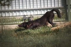 Schwarzer und grauer Wolf im Zoo Stockfotos