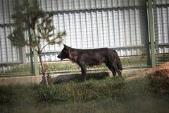 Schwarzer und grauer Wolf im Zoo Lizenzfreies Stockfoto