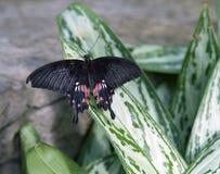 Schwarzer und rosa Schmetterling am Schmetterlings-Haus Lizenzfreie Stockbilder
