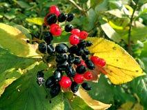 Schwarzer und roter Beeren Viburnum Lantana Stockfotos