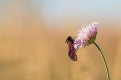 Schwarzer und roter Schmetterling auf einer Blume stockbild