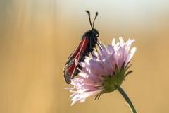 Schwarzer und roter Schmetterling auf einer Blume lizenzfreie stockfotografie