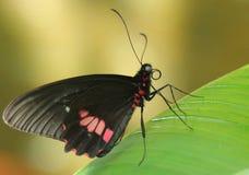 Schwarzer und roter Schmetterling, der auf Blatt stillsteht Lizenzfreie Stockbilder