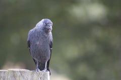 Schwarzer Vogel Lizenzfreies Stockbild