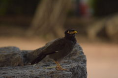 Schwarzer Vogel Lizenzfreie Stockfotos