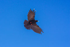 Schwarzer Vogel auf blauem Himmel stockfotos