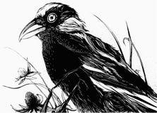 Schwarzer Vogel auf dem Gebiet Lizenzfreie Stockfotos