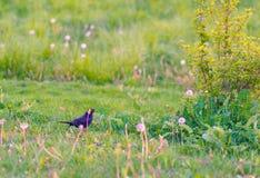 Schwarzer Vogel auf dem Gebiet mit Blumen Stockbilder