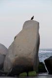 Schwarzer Vogel auf einem Felsen Stockbilder